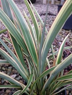 Phormium Cookianum Tricolour